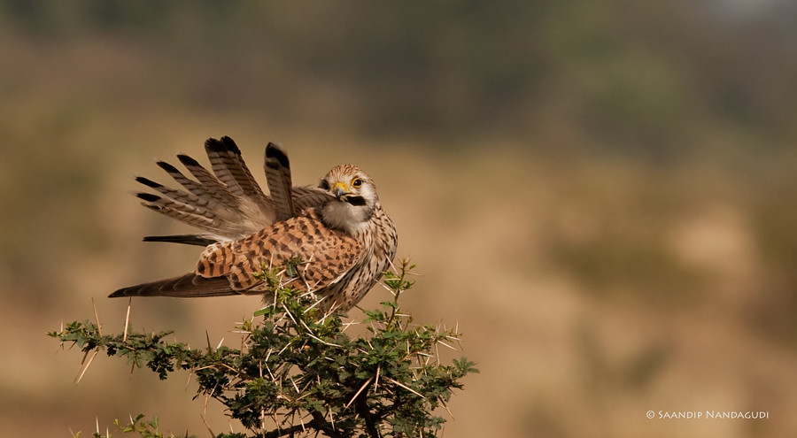 Common-Kestrel