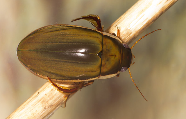 black belly diving beetle upperside edited