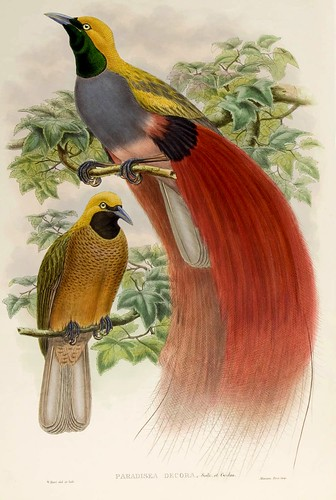 031-Ave del paraiso de pecho gris-The birds of New Guinea and the adjacent Papuan islands..1875-1888-Vol I-Gould y Sharpe