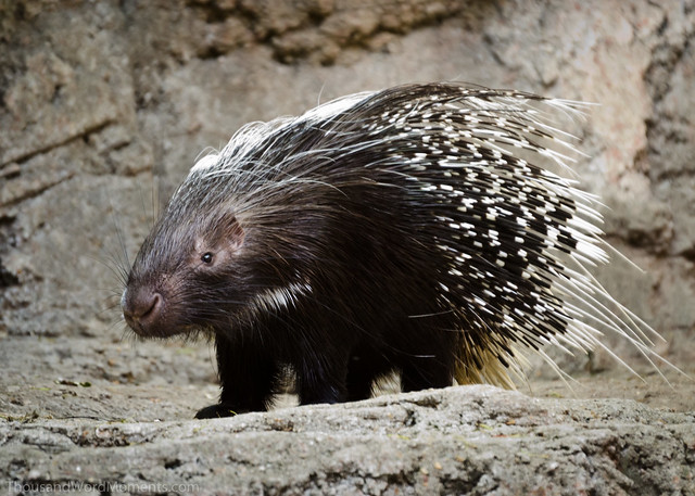 how to get porcupine quills out of a dog