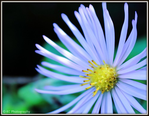 Aster by Kirs10c