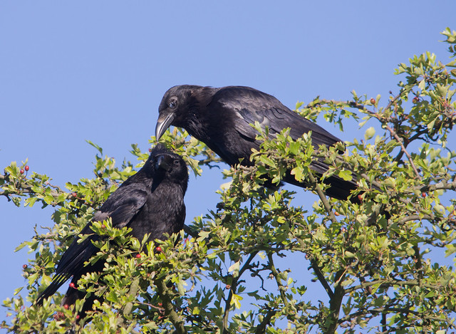 carrion crows 4
