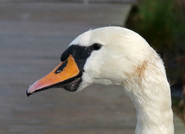 25447 - Mute Swan, Cosmeston