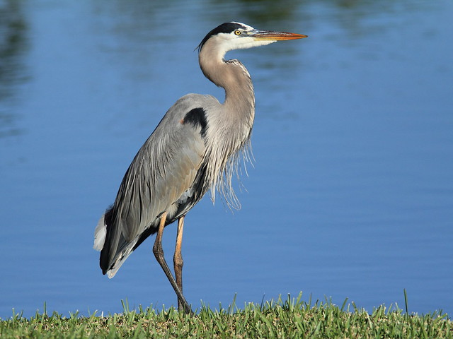 Great Blue Heron 20120101