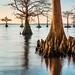 Morning Cypress, Mattamuskeet DSC_1342 by Sharon C2010