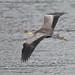 Grey Heron @ Mull. # 4853