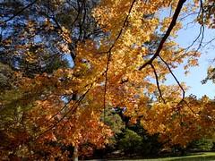 日, 2010-11-07 12:56 - New York Botanical Garden (Bronx) ブロンクスの NY植物園 紅葉