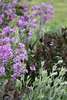 Hesperis matronalis, Penstemon 'Husker Red' and Lychnis coronaria
