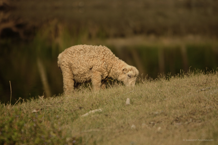 Garole Sheep
