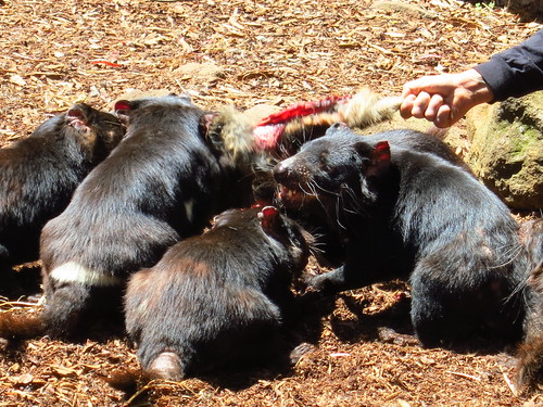 feeding time for tasmanian devils