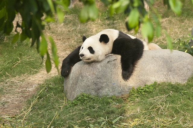 Lazy Panda | Flickr - Photo Sharing!