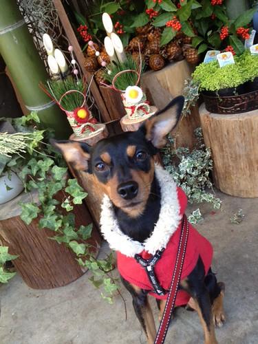 正月飾りの前の黒犬その2@ステラ