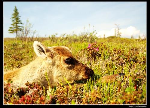 Porcupine caribou calf (Rangifer tarandus granti)