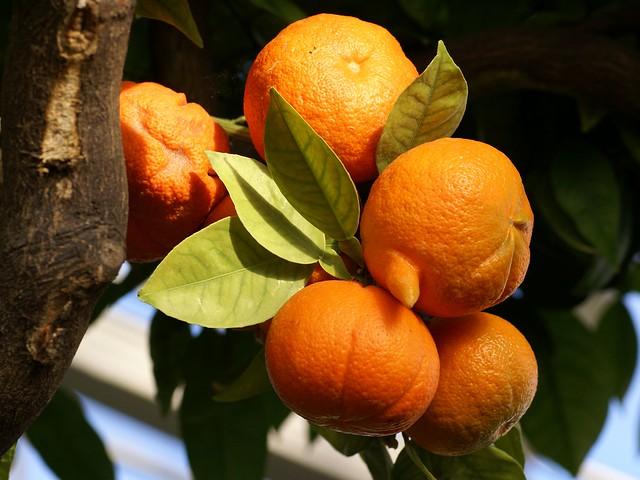 Pomeranze / sour orange (Citrus aurantium)