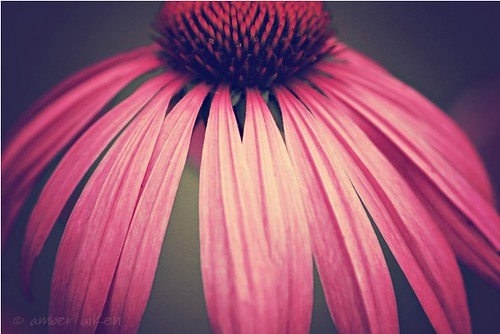 Coneflower Love