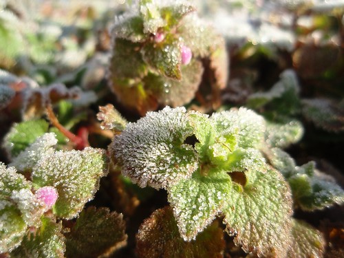 frosted herbs (4)