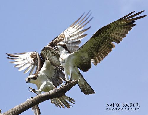 birds florida wildlife raptor osprey avian birdsofprey floridawildlife floridabirds circlebbarreserve birdperfect