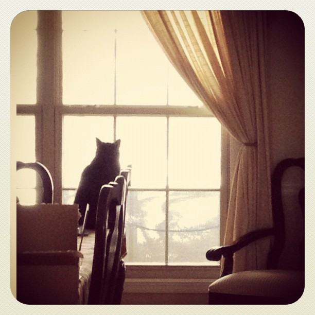 23/365+1 - A Longing Look Outside #cat #silhouette