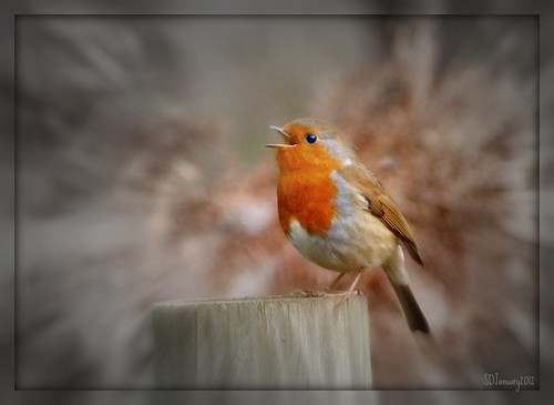 Zinging singing Robin