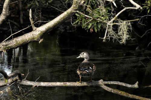 Duck at Wakulla Springs