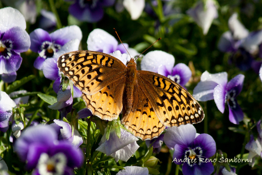 Great Spangled Fritillary (Speyeria cybele)-4.jpg