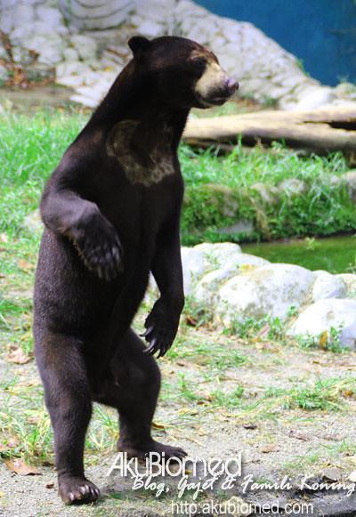 Beruang berdiri