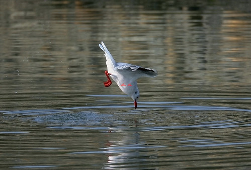 Black-headed Gull 紅嘴鷗(TW056)6Z2K9714-1