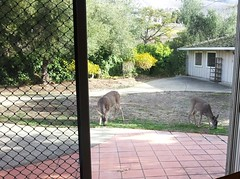 Deer Eating In The Backyard