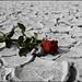 Desert Rose by RashedZh