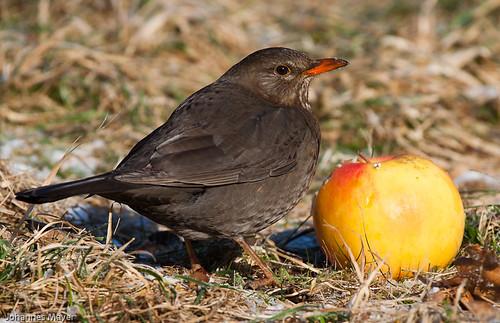 Blackbird female by Johannes D. Mayer