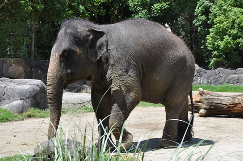 Burma the elephant