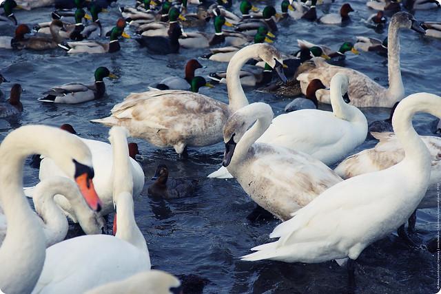 swans-09