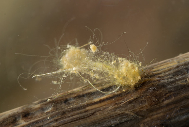 Chironomid midge larva in case 3 edited