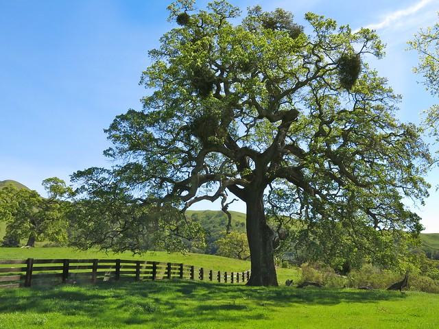 Quercus lobata VALLEY OAK/ROBLE