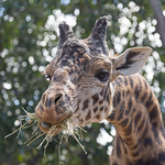 Hungry giraffe, San Diego Zoo