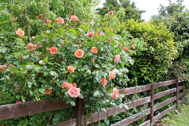 Sonja's roses