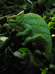 lacerta(0.0), lacertidae(0.0), animal(1.0), green lizard(1.0), reptile(1.0), lizard(1.0), green(1.0), fauna(1.0), african chameleon(1.0), jungle(1.0), iguana(1.0), scaled reptile(1.0), chameleon(1.0),