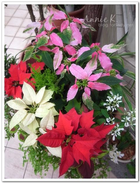 2011耶誕紅盆栽
