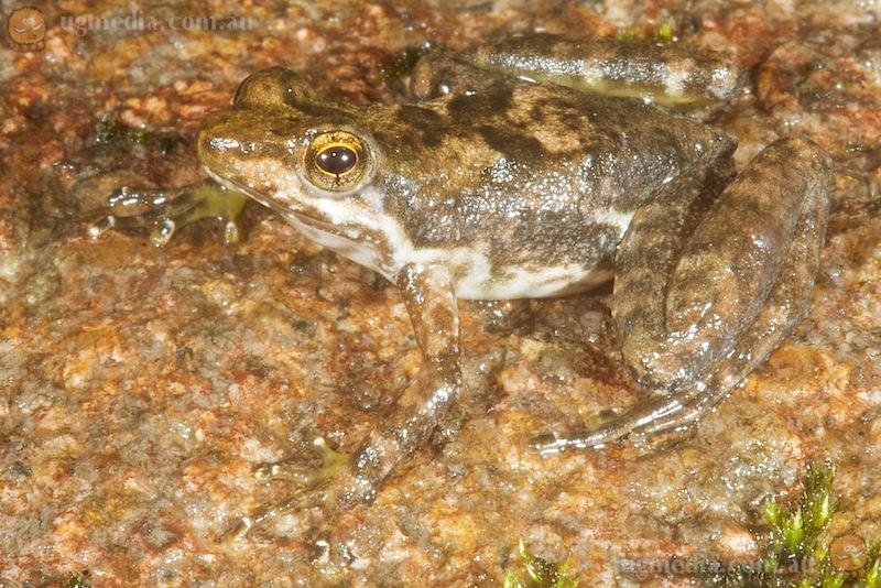 Eungella day frog (Taudactylus eungellensis)