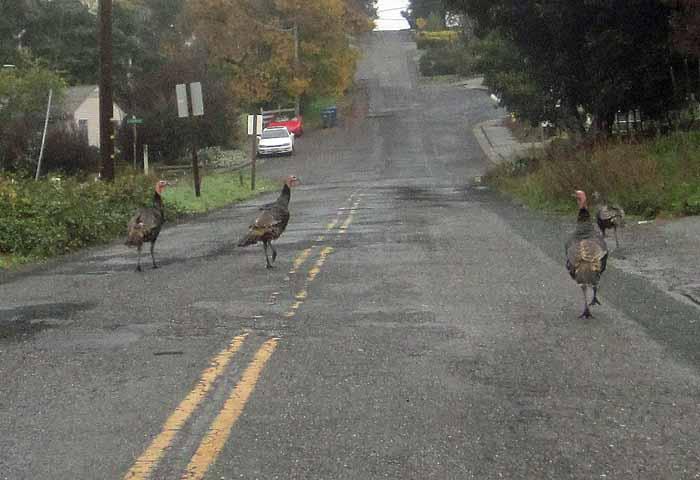 Rogue Turkeys