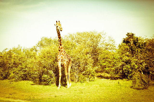Giraffes (3)