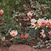 Anaclcus pyrethrum v.depressus (Colin W Hughes)