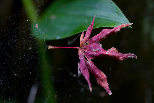 Autumn Leaf in Spider Web