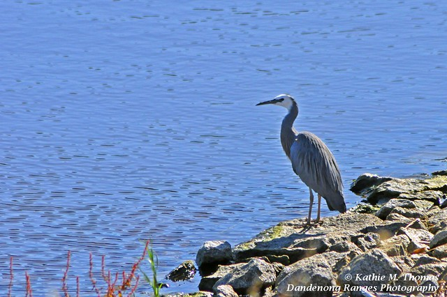 White-faced Grey Heron surveys lake