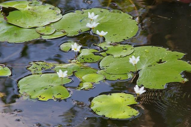 Ninfeáceas en las llanuras inundadas del Parque Nacional Kakadu. Territorio del Norte, Australia.