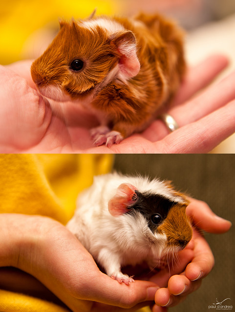 Early Christmas. We got the girls a couple guinea pigs a few weeks back, ...