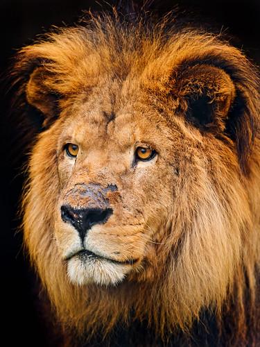 [フリー画像素材] 動物 1, ライオン ID:201112181000