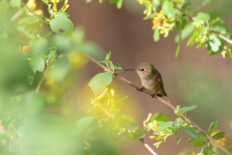 Allen's Hummingbird 121611-4