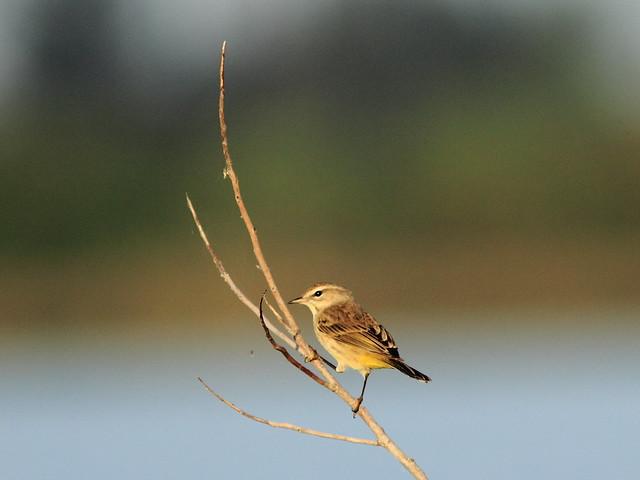 Palm Warbler 2-20111217