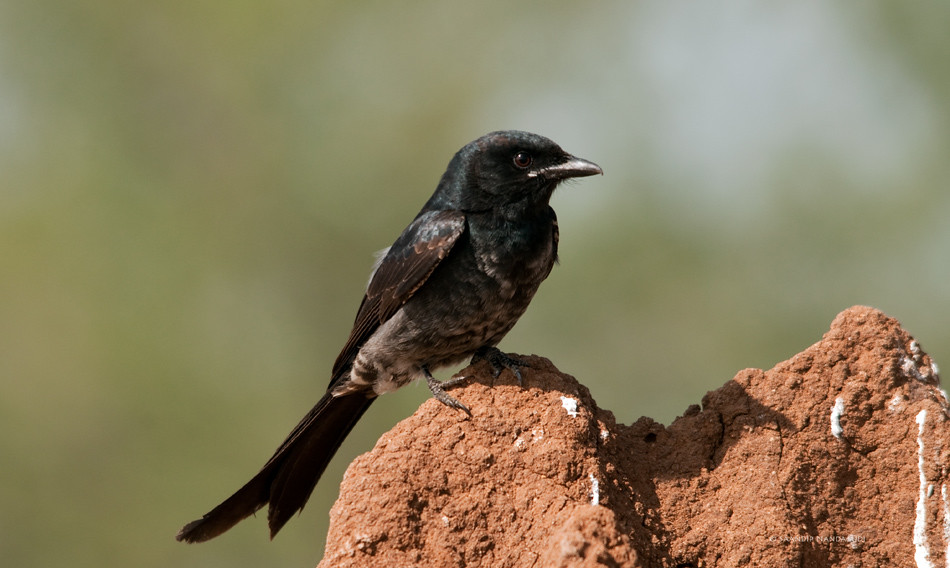 Black-Drongo-immature